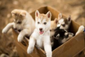 Bilder Hunde Welpe Siberian Husky Schachtel Niedlich