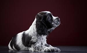Hintergrundbilder Hunde Spaniel