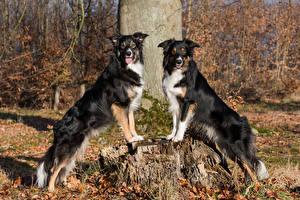Tapety na pulpit Pies domowy Pniak Dwóch Border collie Wzrok Zwierzęta