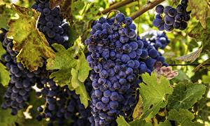 Fotos Weintraube Großansicht Blattwerk das Essen