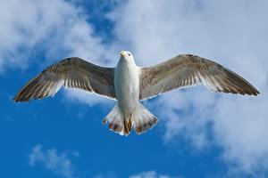 Sfondi desktop Gabbiani Da vicino Uccelli Volo Ali di uccello animale