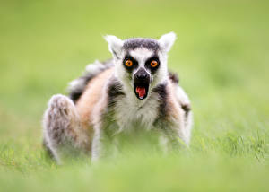 Fotos Lemuren Starren Erstaunen Ring-tailed lemur ein Tier