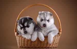 Bilder Welpe Zwei Weidenkorb Nett Siberian Husky