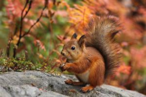 Fotos Eichhörnchen Tiere