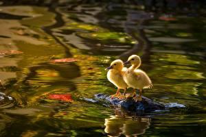 Bilder Vögel Küken Entenvögel Wasser Zwei