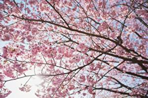 Fotos Ast Japanische Kirschblüte Natur