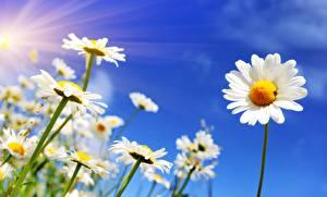 Hintergrundbilder Kamillen Himmel Lichtstrahl Blüte
