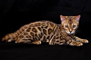 Fotos Katze Bengalkatze Schwarzer Hintergrund