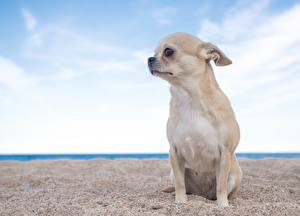 Pictures Dogs Chihuahua Sitting Sand Staring Animals