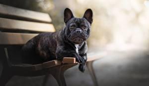 Bilder Hund Französische Bulldogge Bank (Möbel) Schwarz