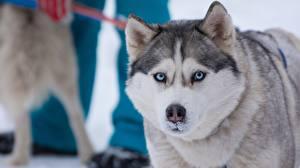 Bilder Hunde Starren Siberian Husky