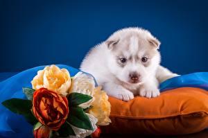 Hintergrundbilder Hunde Siberian Husky Welpe Weiß Tiere