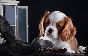 Fotos Hunde Welpen King Charles Spaniel