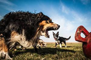 Bilder Hunde Grinsen Border Collie Australian Shepherd