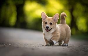 Bilder Hunde Welsh Corgi Welpen