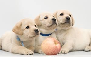 Bilder Hund Retriever Welpe Drei 3 Blick Labrador Retriever