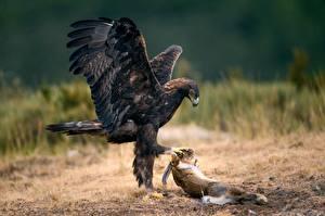 Pictures Eagles Bird Hares Hunting