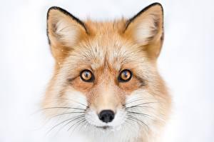 Hintergrundbilder Füchse Kopf Blick Schnauze Schnurrhaare Vibrisse ein Tier