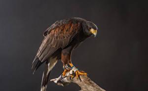 Sfondi desktop Accipitrini Uccelli Harris Hawk animale
