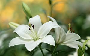 Bilder Lilien Hautnah Weiß Blumen