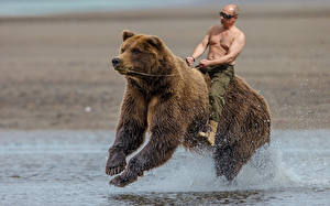 Hintergrundbilder Vladimir Putin Bären Mann Braunbär Lauf Prominente