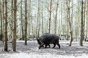 Wallpapers Wild boar Trees Animals