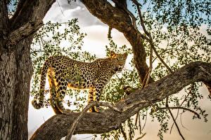 Bilder Große Katze Leopard Ast Tiere