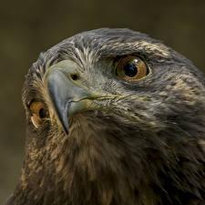 Fotos Vogel Nahaufnahme Habicht Kopf Schnabel ein Tier
