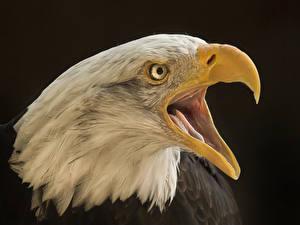 Image Bird Eagle Closeup Beak Head