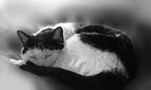 Bilder Katze Gezeichnet Schlafendes Schwarzweiss Tiere
