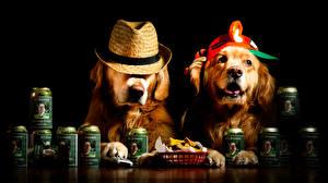 Fotos Hunde Schwarzer Hintergrund 2 Retriever Der Hut Lustige Tiere