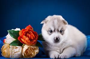 Papel de Parede Desktop Cão Husky siberiano Filhote de cachorro animalia