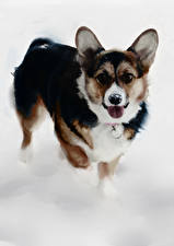 Fotos Hunde Gezeichnet Welsh Corgi