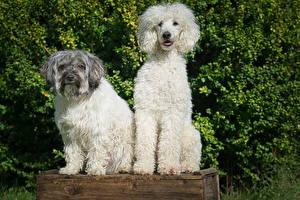 Fotos Hund Pudel 2 ein Tier