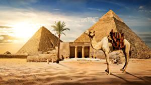 Fotos Ägypten Wüste Altweltkamele Pyramide bauwerk Palmen Sand Cairo Natur