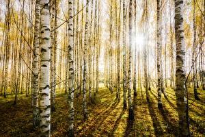 Fotos Wälder Birken Bäume Baumstamm