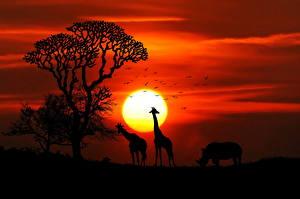 Bilder Giraffe Sonnenaufgänge und Sonnenuntergänge Nashörner Afrika Sonne Silhouetten Tiere