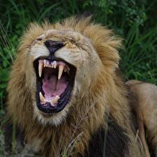 Pictures Lions Big cats Canine tooth fangs Angry Animals