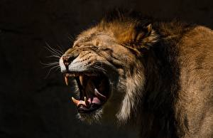 Wallpapers Lion Canine tooth fangs Angry animal