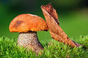 Bilder Herbst Großansicht Pilze Natur Blattwerk Gras Natur