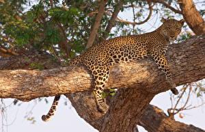 Fotos Große Katze Leopard Ast Baumstamm Tiere