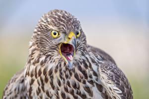 Desktop hintergrundbilder Vögel Habicht Nahaufnahme ein Tier