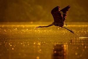 Bilder Vögel Reiher Wasser Flug