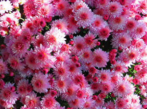 Images Chrysanthemums Many Closeup Pink color Flowers