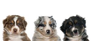 Fotos Hunde Australian Shepherd Weißer hintergrund Drei 3 Tiere