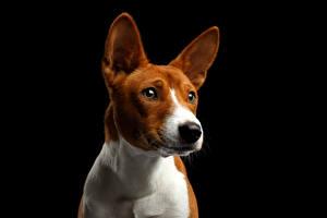 Bilder Hunde Schwarzer Hintergrund Starren Schnauze Basenji Dog Tiere