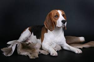 Images Dog Beagle
