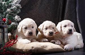 Bilder Hunde Neujahr Welpen Retriever Drei 3 Weiß