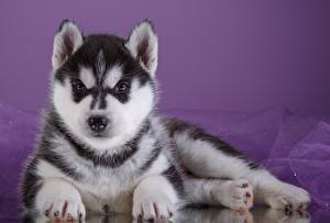 Bilder Hunde Siberian Husky Welpe