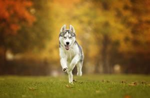 Hintergrundbilder Hunde Siberian Husky Laufsport Gras